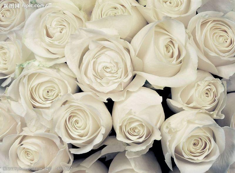 为爱祝福白色情人节清新玫瑰图片